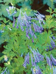Shade Plants with Blue Flowers