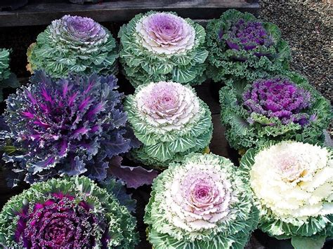 decorative cabbage and kale ornamental kale doorstep truck farm victory gardens pinterest
