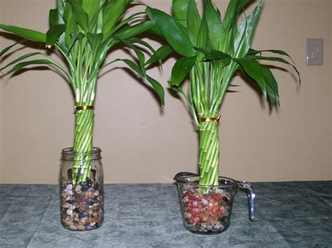 how to grow bamboo at home 42 best images about lucky bamboo on pinterest feng shui tips office plants and decorative rocks