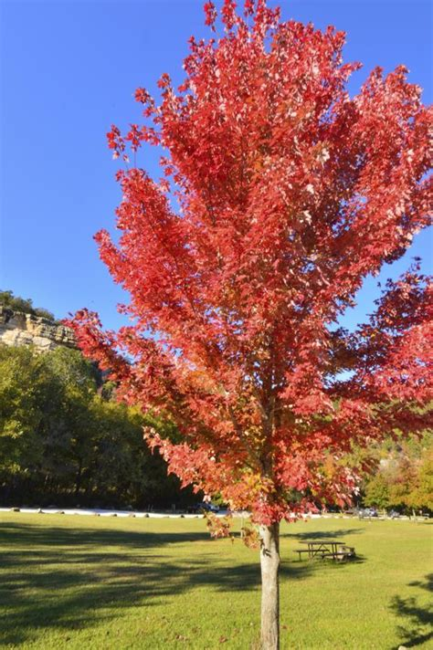 autumn blaze maple autumn blaze maple problems that are not comforting to the tree