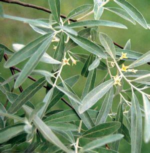 best 20 olivier en pot ideas on buxus