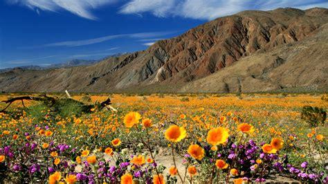 desert flowers anza wildflowers in borrego springs