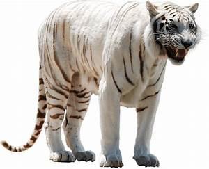 White Tiger Nervous transparent PNG - StickPNG