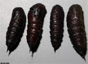 Moth Pupa Identification Guide