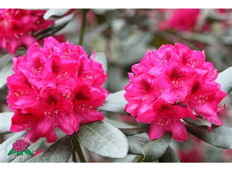 Latvijas stādi - Rhododendron 'Nova Zembla' - mūžzaļais ...