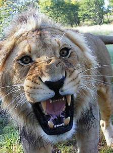 Volunteer List Angry Lion Photo South Africa