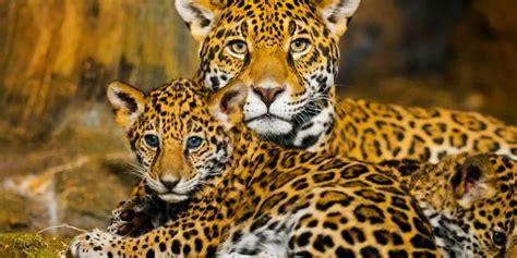 Jaguares En La Selva, Lucha Por Preservar La Especie