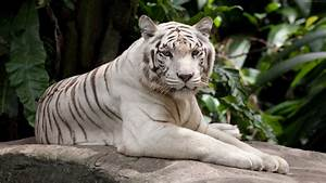 White tiger have a rest wallpaper | animals | Wallpaper Better