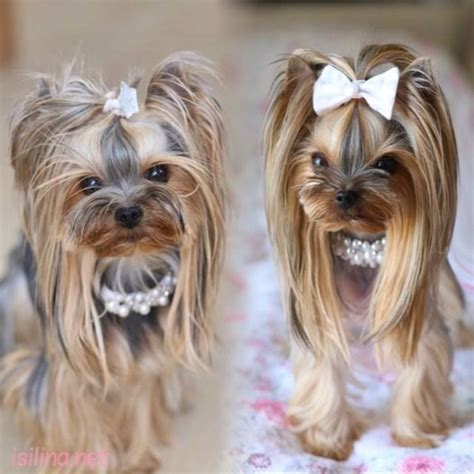 teacup yorkie shedding 584 best images about que grooming on poodles