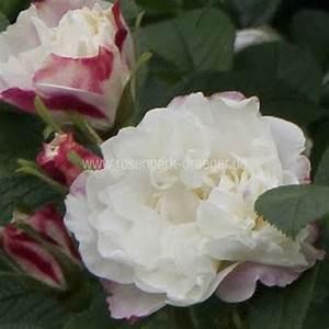 Wilde Triebe Rosen : rosen online kaufen louise bugnet rosenpark ~ Lizthompson.info Haus und Dekorationen