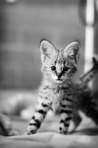 It is a savannah cat a mix with a house cat and a wild cat