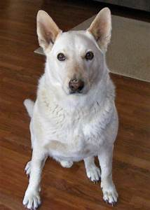 17+ images about Australian Cattle Dog on Pinterest ...