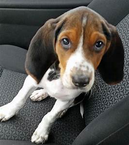 Tundra the treeing walker coonhound puppies daily puppy for Puppy dog walker