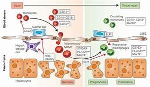 Repair Macrophages In Acute Liver Failure