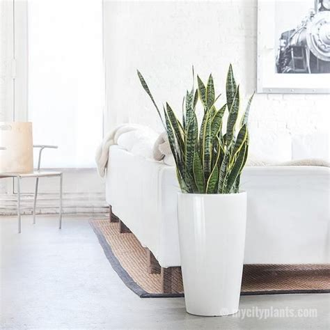 Best Plant For Bathroom Australia by 17 Best Ideas About Snake Plant On Indoor