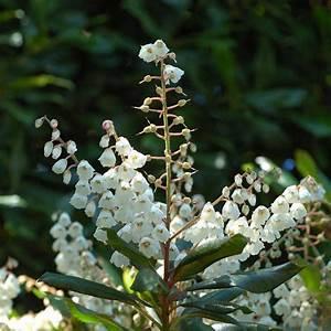 Quand Planter Le Muguet : clethra planter et entretenir ooreka ~ Melissatoandfro.com Idées de Décoration
