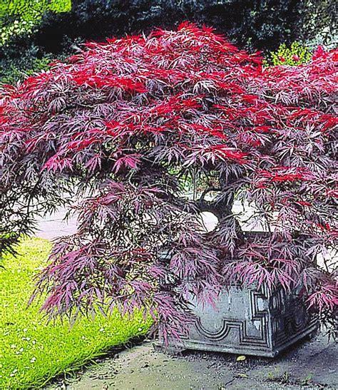 japanischer ahorn arten japanischer ahorn burgund up to 1m blumen 6 streucher f 228 cherahorn japanischer ahorn und
