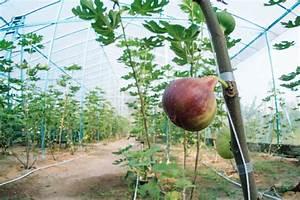 Feigenbaum Im Kübel : feigenbaum d ngen experten tipps zu zeitpunkt d nger ~ Lizthompson.info Haus und Dekorationen