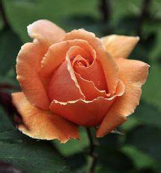 peach rose tattoo on Pinterest | Peach Rose, Roses and ...