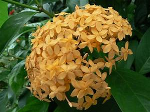 PLANTS DESCRIPTION: Auction Ixora javanica orange-yellow ...