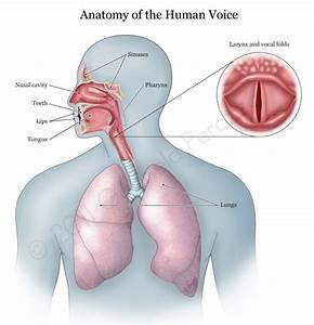 Human Voice Box Diagram