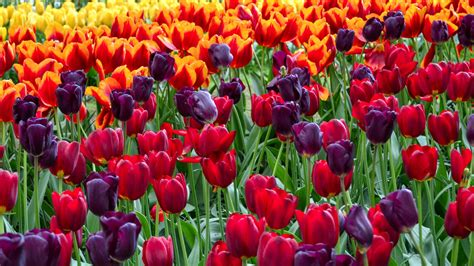 tulips images tulips hd wallpaper wallpaper tulips colorful hd flowers 5636