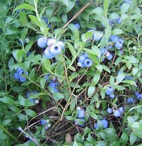 Sarah Laurence: Wild Blueberries