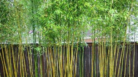 best food for bamboo plants how to kill bamboo southern living
