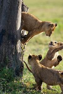 1358 best images about LIONS on Pinterest | A lion, Africa ...