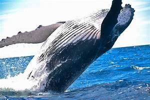 Humpback whale jumping - Megaptera novaeangliae image ...