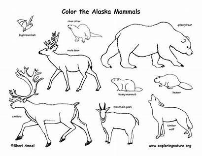 Coloring Alaska Mammals Alaskan Animals State Amphibians
