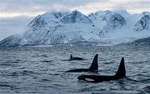 You Can Now Dive With Orcas In The Norwegian Fjords  U2014 And