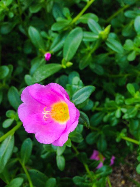 portulak pflanzen ein kleiner ratgeber