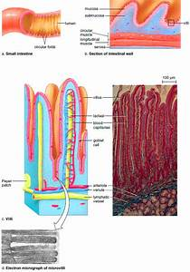 Small Intestine  Anatomy Of The Small Intestine