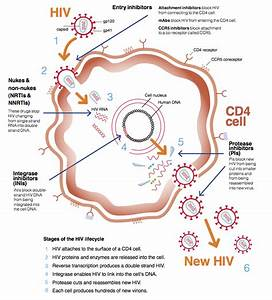 Hiv Life Cycle  U2013 How Drugs Work In Different Ways