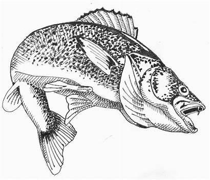 Walleye Drawing Clipart Fishing Outline Drawings Hughes