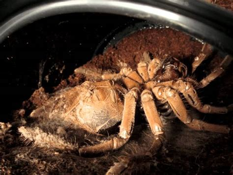 this time lapse video of a tarantula molting will give you