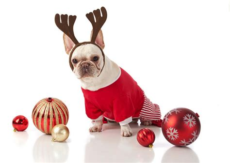 15 dog breeds wearing christmas outfits - Large Dog Christmas Outfits