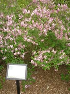Japanese Lilac Bush