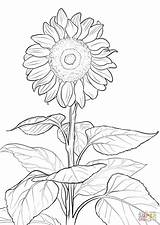 Coloring Sunflower Pages Printable Drawing Paper sketch template