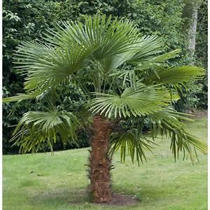 Phoenix Canariensis Entretien : palmier trachycarpus ~ Melissatoandfro.com Idées de Décoration