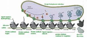 Why Do Ribosomes And Mrna Form Polysomes