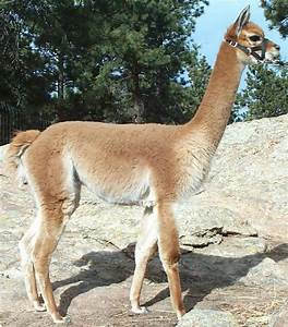 Paco-Vicuña – do we have one? Day at the Ranch
