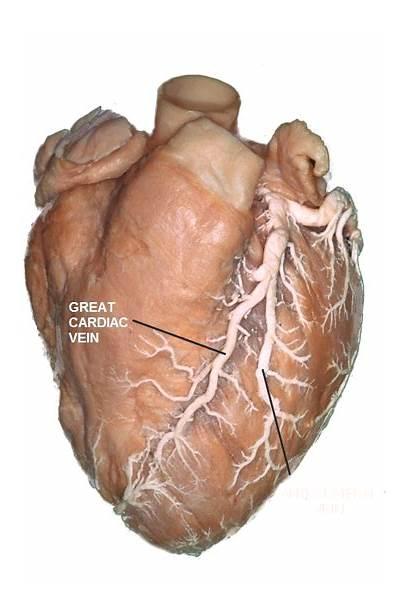 Cardiac Veins Vein Anatomy Valve