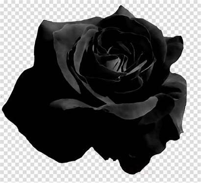 Rose Transparent Clipart Roses Pngio Flower Clip