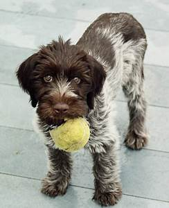Wirehaired Pointing Griffon Breed Guide - Learn about the ...