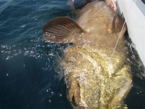 grouper goliath florida hook weighs hunt caught line fish boat brought