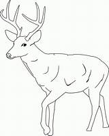 Coloring Deer Pages Tailed Printable Popular sketch template