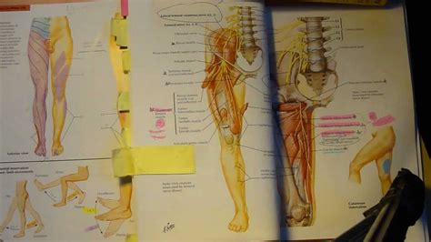dermatome  muscular innervation youtube