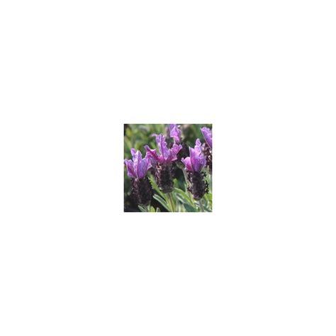 lavande papillon en pot lavande papillon le pot de 1 litre les fleurs m 233 dit 233 rran 233 ennes autres marques balcon terrasse